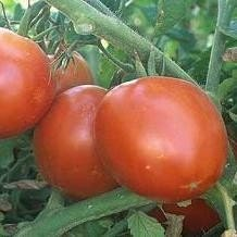 PIF Super Sioux Tomato - Wonderful Organic Heirloom Seeds - Perfect Garden Tomato Seed