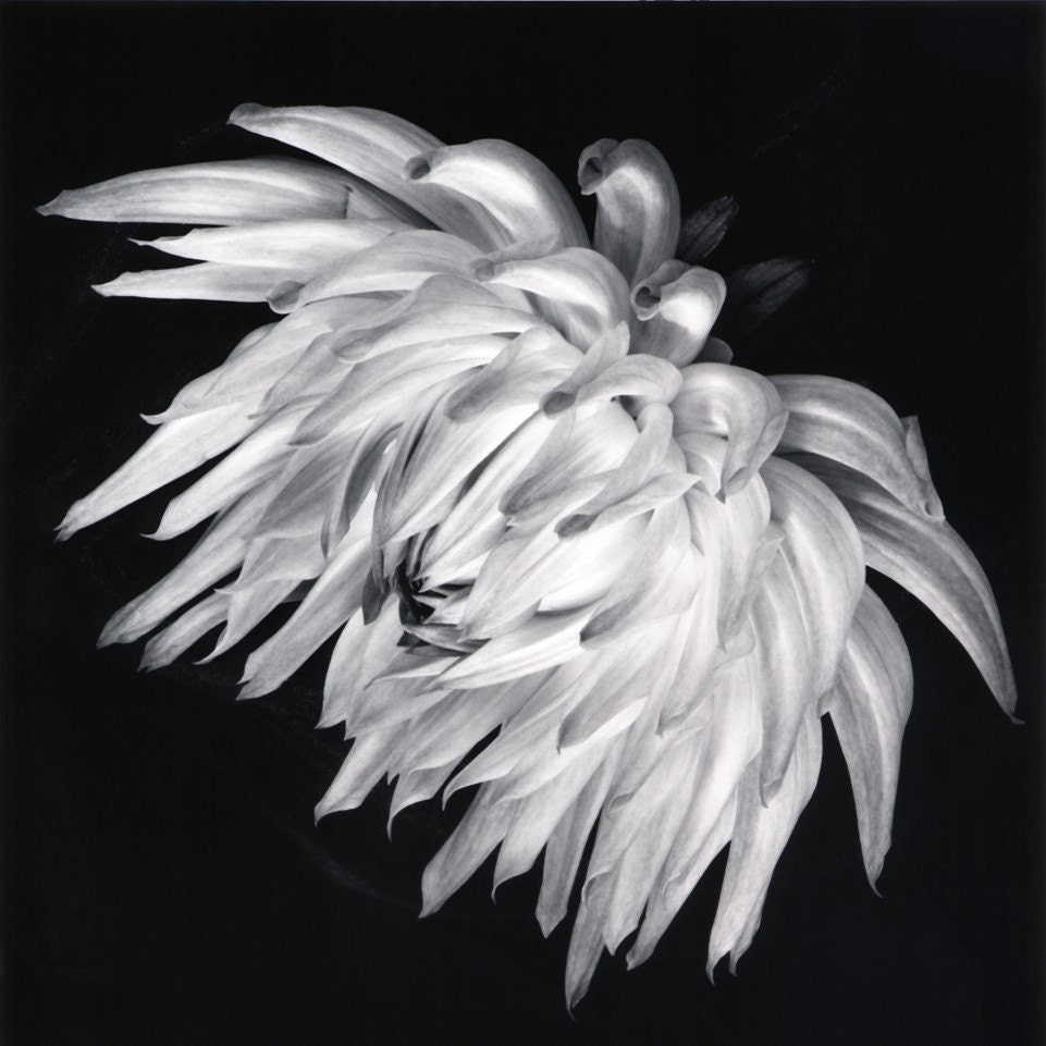 Dahlia--6x6 black and white fine art print - GalleryOneZero