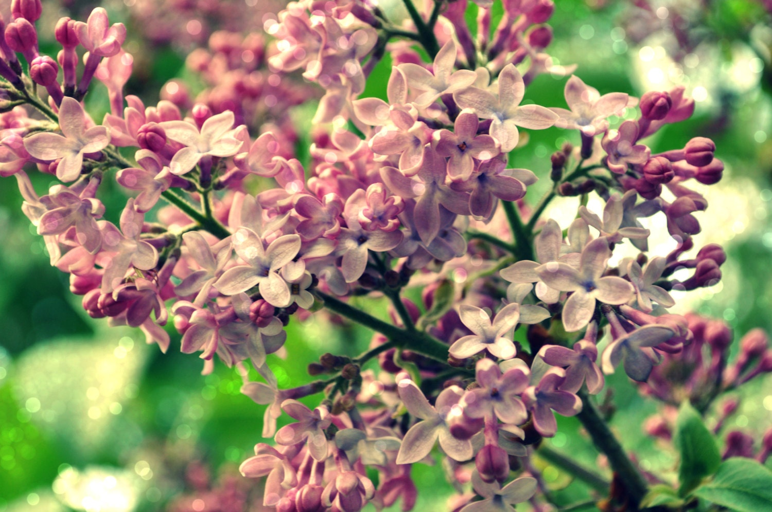 Lilac Daydreams Digital Photography Download Sparkle Floral Fine Art Photo Spring Flowers Pink - regiftstore