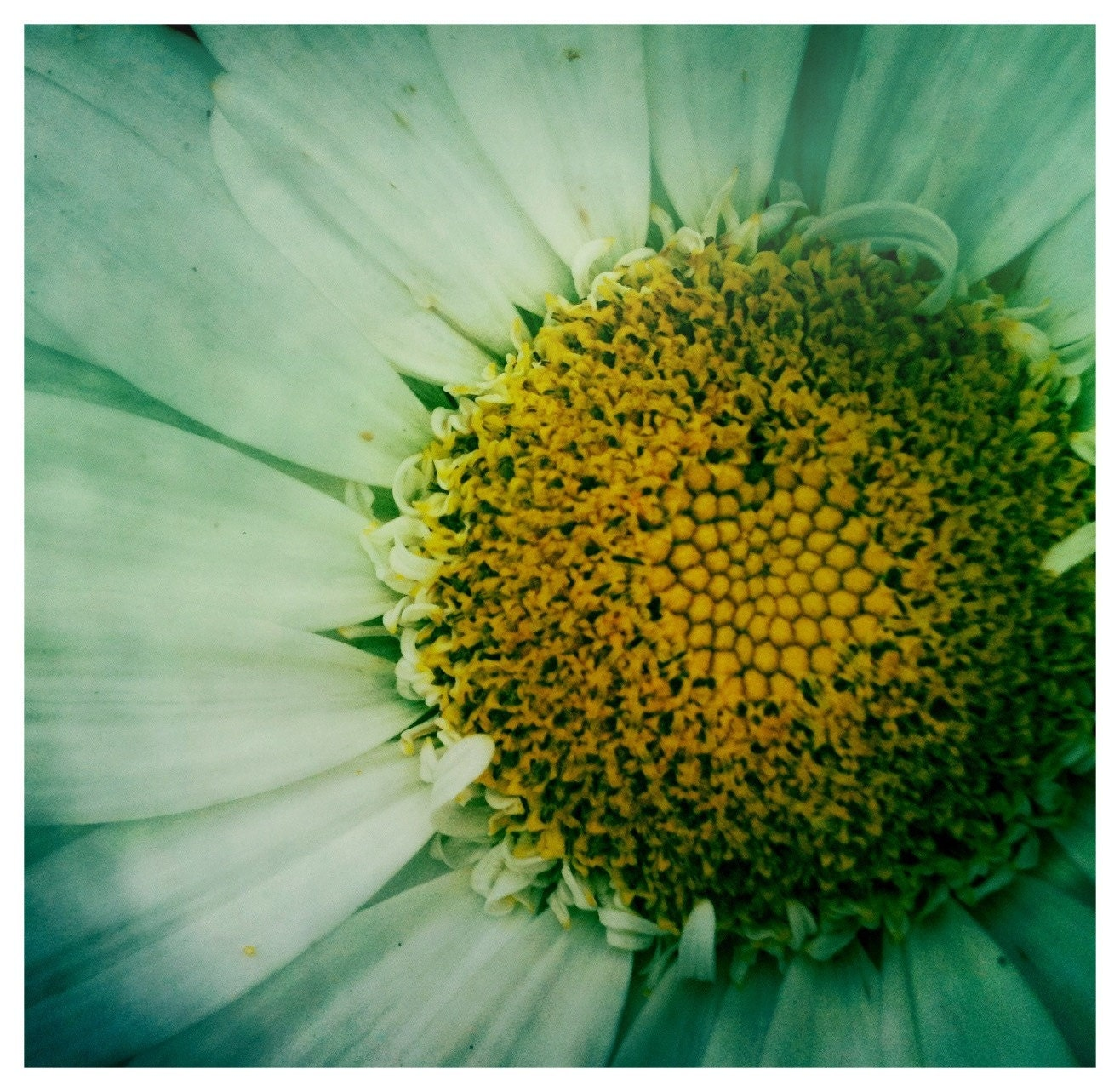 Daisy Love....Hipstamatic Original Photo
