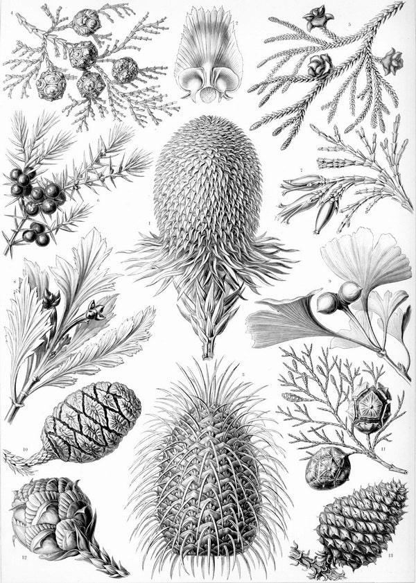 Natural history-Pinecone-Botanical print-fir cones - arttour