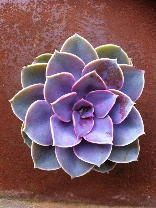 Succulent Plant -Purple Echeveria - SucculentOasis
