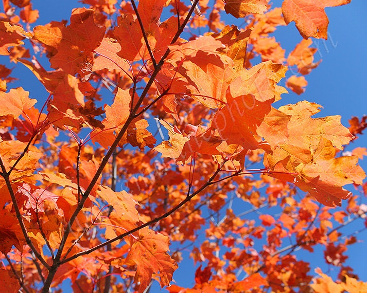 Orange Autumn Leaves Against a Bright Blue Sky Photo Art Print 8x10 - EmAnnePhoto