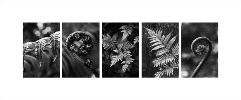 Black and white panorama photo of New Zealand fern plants