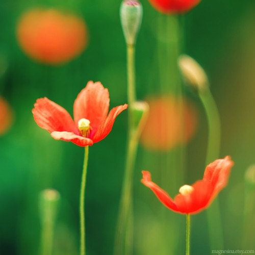 Poppy - 5x5 (13x13cm) or 5x7 (13x18cm) - Fine Art Photography