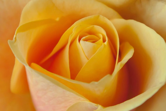 Yellow Rose photo: 8x12 Fine Art Photography nature print wall art decor - AnaPontesPhotography