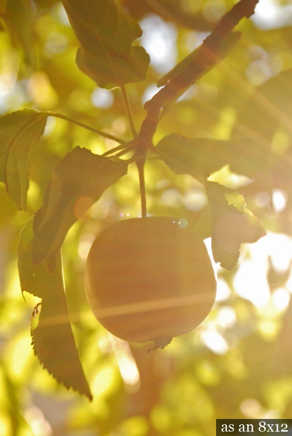 Ripening Apple - botanical photograph nature art photo photography fruit ripen tree leaves golden sun sunny sunlight dreamy - LeafandBloom