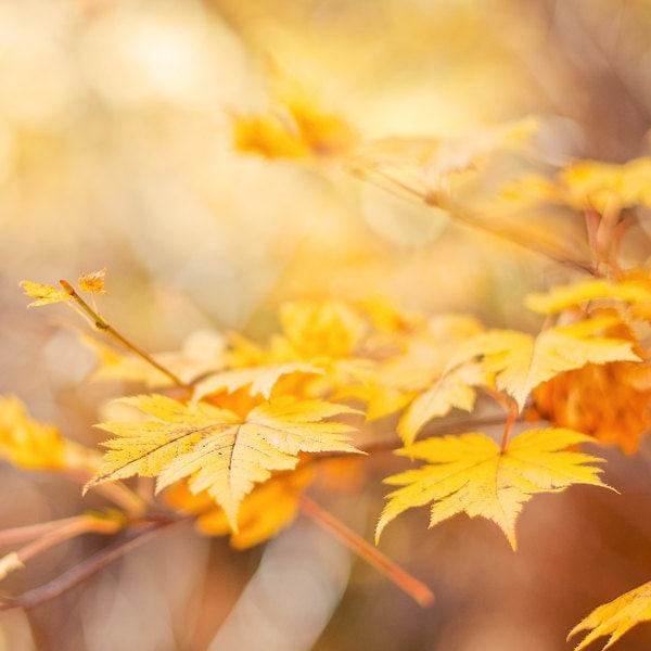 Autumn photography - yellow golden orange brown tree photography - fine art photography print - maple leaves nature photograph - photographybykarina