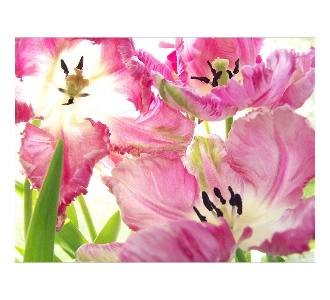 Pink Parrot Tulips, Fine Art Photograph Note Card