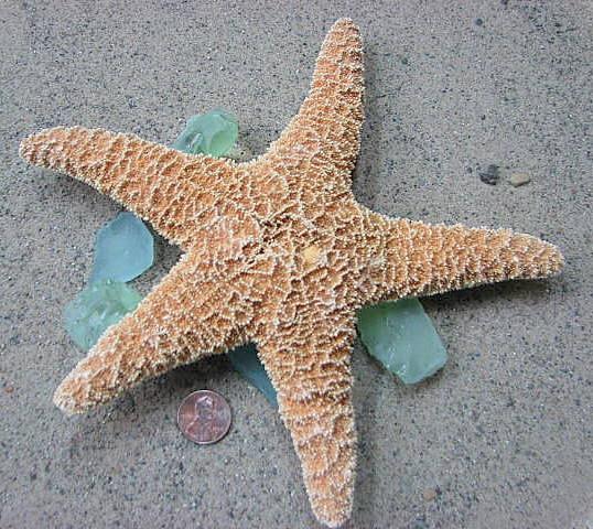 Пляж Декор Морская звезда - XL Сахар Starfish для дисплея, Свадьба Бич или декора, 1шт.