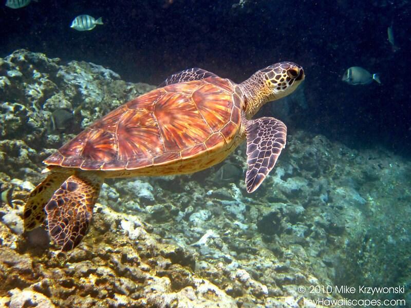 Items Similar To Hawaiian Green Sea Turtle On Etsy
