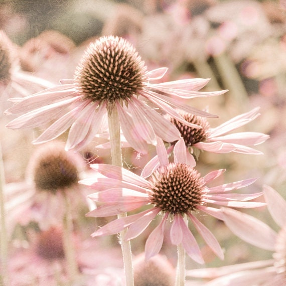 Pastel Pink Summer Flower Photograph, Pale Pink Wall Art for Baby Nursery and Little Girls Bedroom , Art Print for Wall Decor - MarascaPhotography