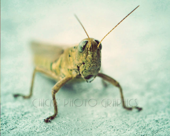 Grasshopper Photo Print, Fine Art, Vintage Look, Macro Green, Blue,