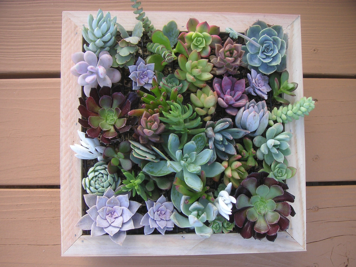 Complete Succulent Wall Art Kit, Comes With 25 Cuttings, Moss And Soil