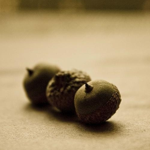 Acorns, Naturally 8x8 Fine Art Print one