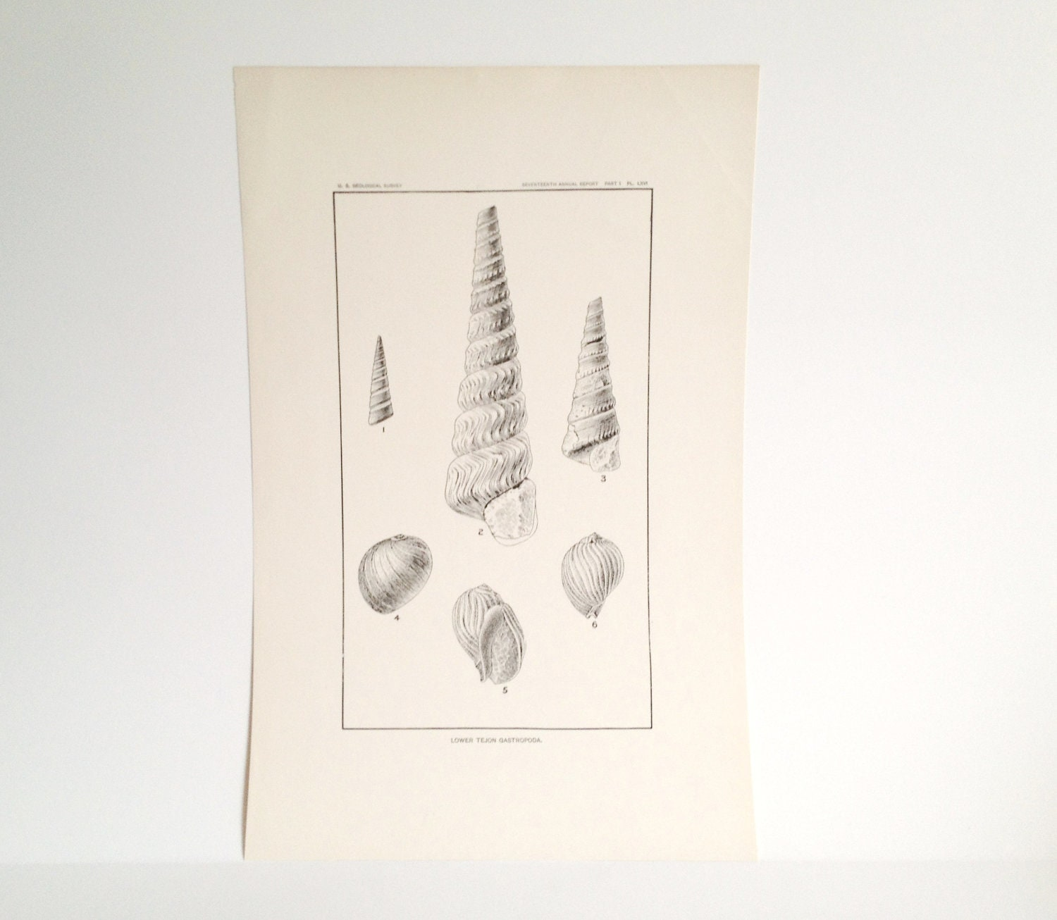 Vintage Shell Illustration- Seashell Art - CasaAndCo