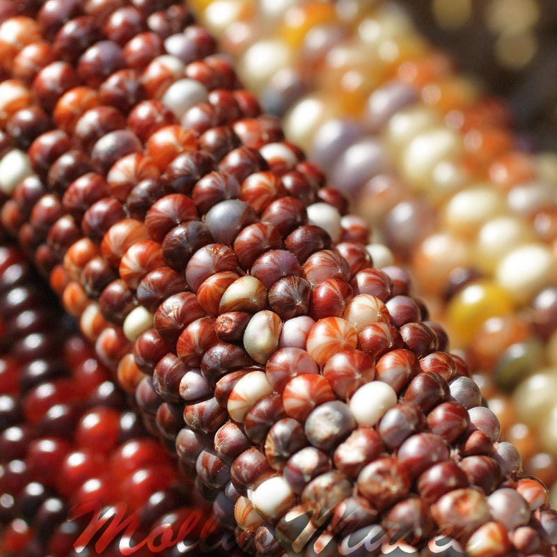 Indian Corn  photography Kitchen decor  Food photograph abstract red yellow brown Thanksgiving Autumn fall decor