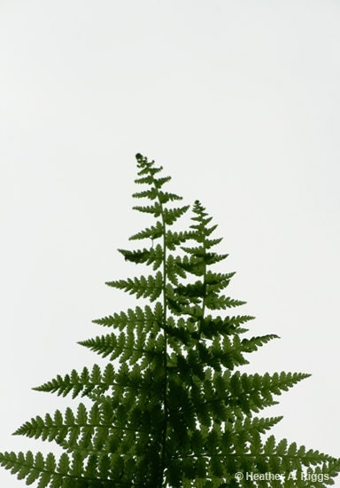 Green Fern, plant, leaf, spring, simple - shyphotog