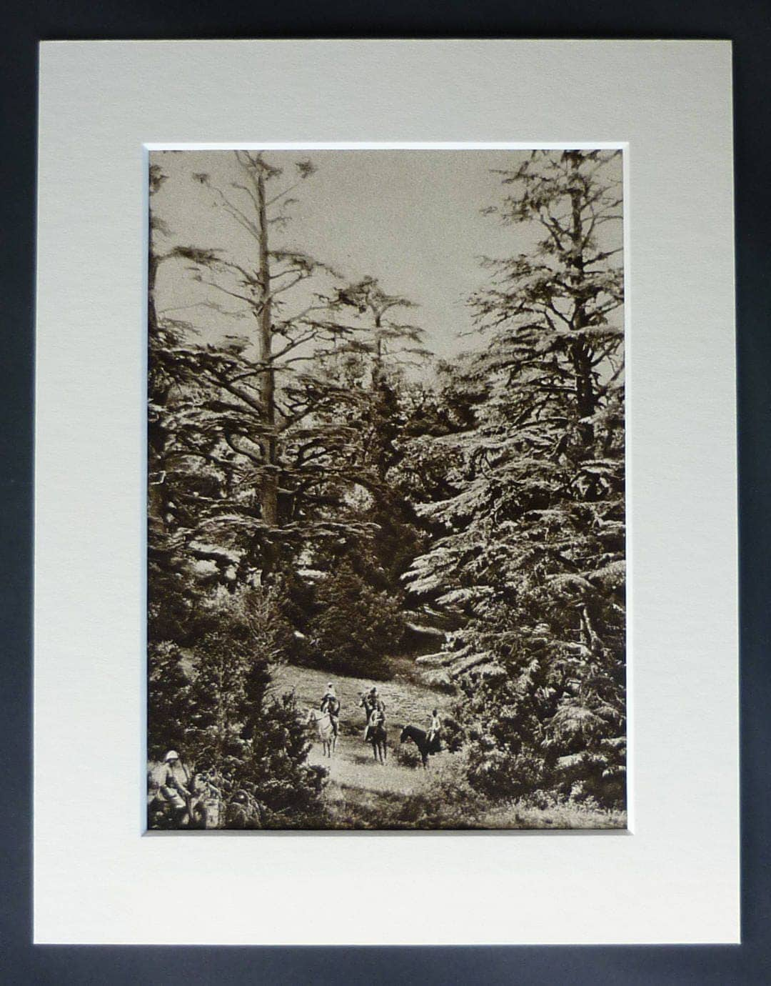 1920s Antique Morocco Print Available Framed Tree Art Atlas Cedar Decor Old Moroccan Gift North African Picture Mountain Forest Photo