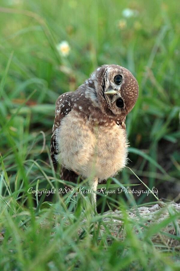 Baby Burrowing Owl 5 x7 Print -