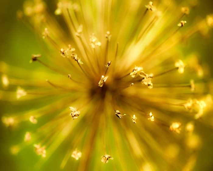 Black Friday - Kablooie- yellow gold and green exploding star fireworks allium flower in autumn- Fine Art Flower Photography Print -  8x10