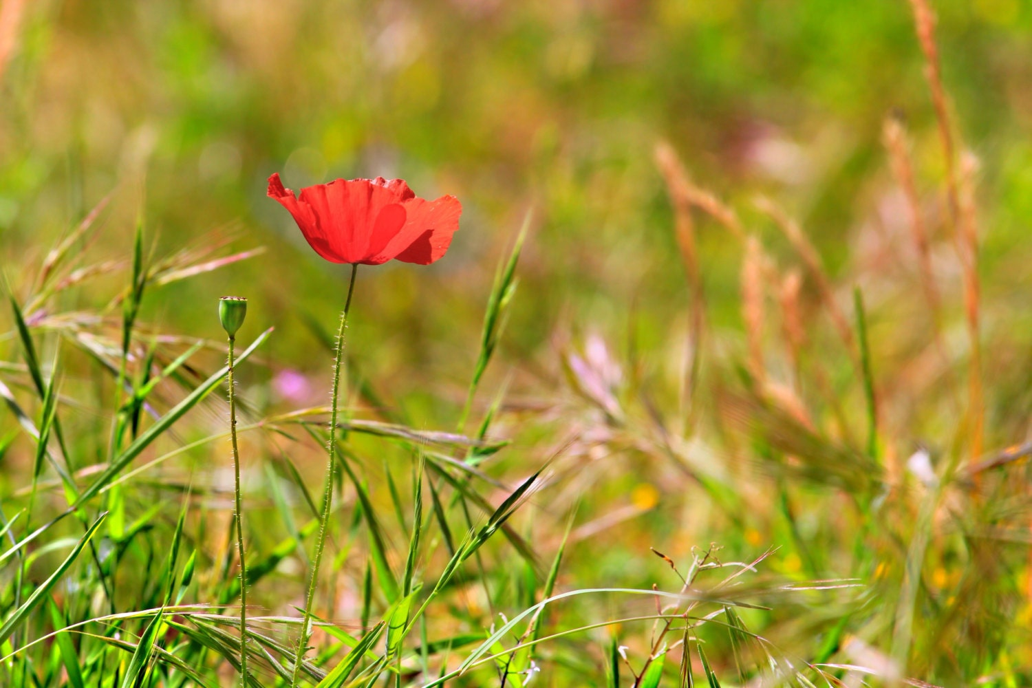 Red Poppy On a Sunny Day - PaddieNL