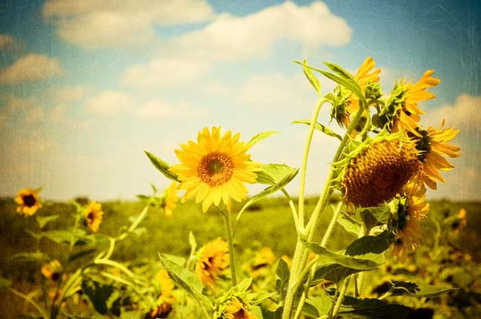 Yellow Sunflower photograph baby nursery wall art by joystclaire