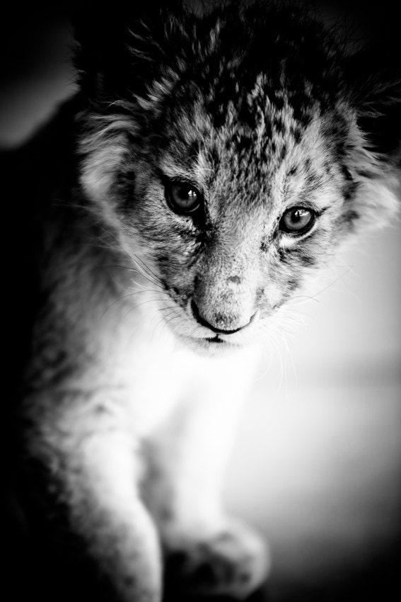 Baby black lion