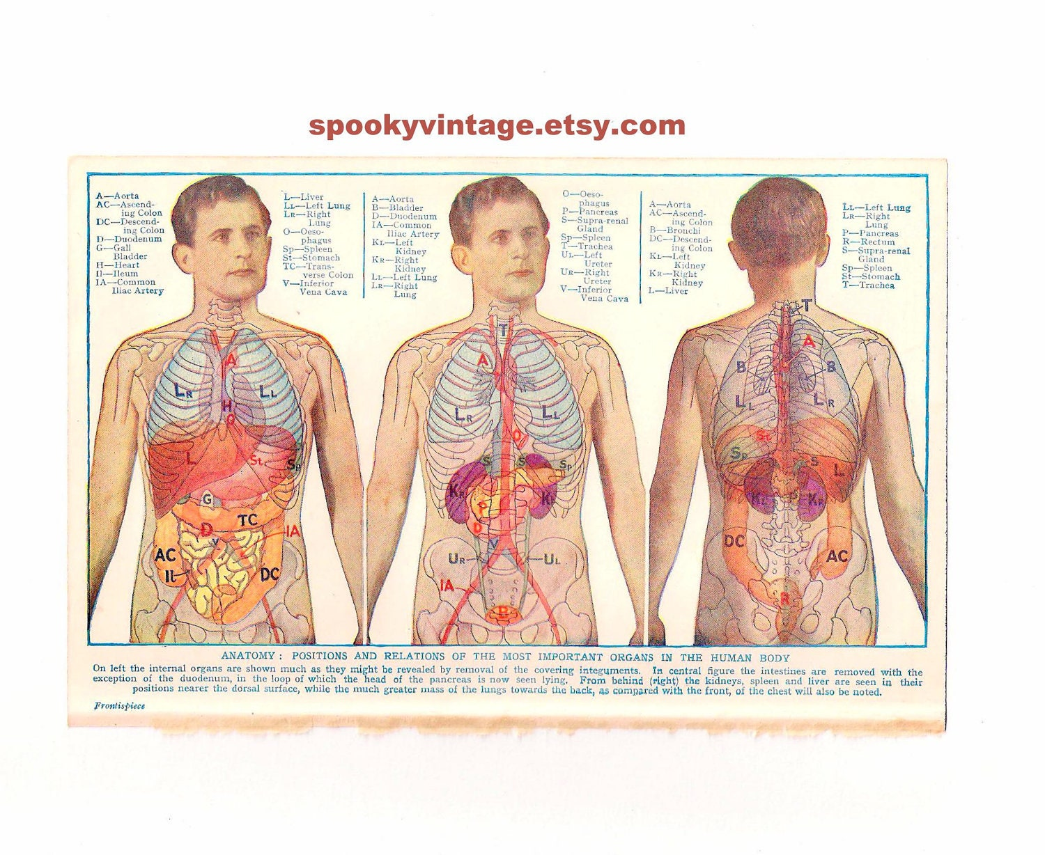 Diagram Of Human Body Organs Front And Back