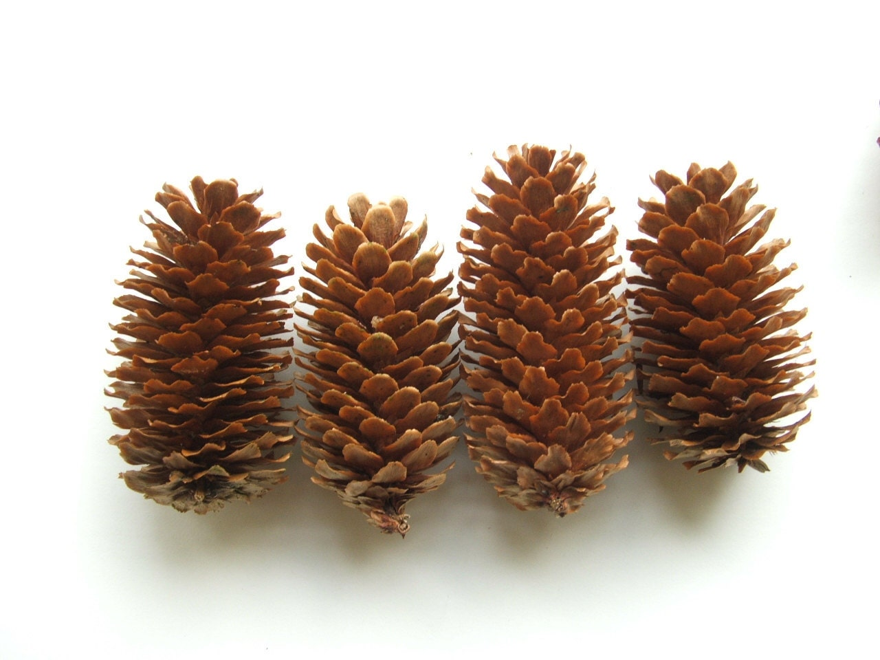 20 pine cones paper thin norway spruce by naturalorganiccrafts for Long pine cones