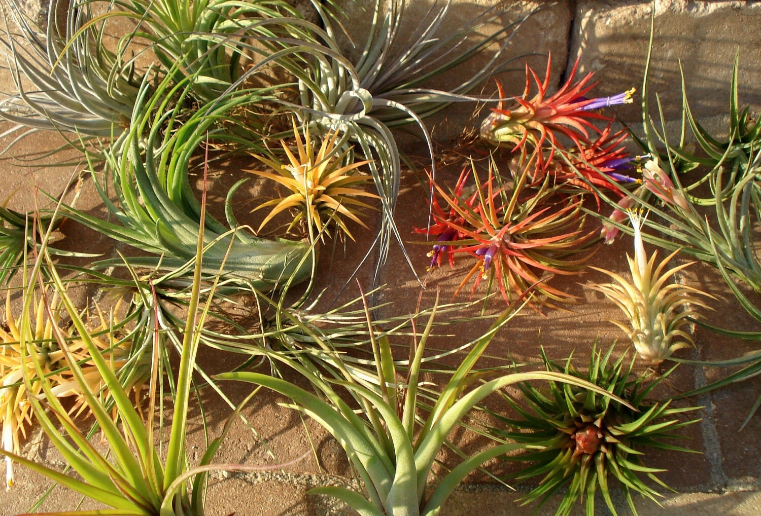 Sale Air Plants Mix Of Five By Twistedacres On Etsy