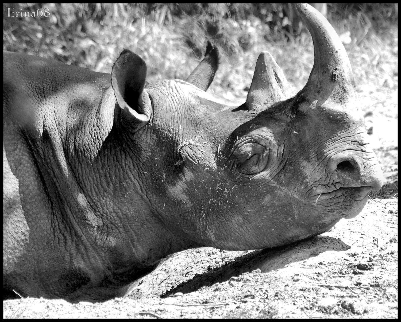 Rhinoceros 8x10 Print