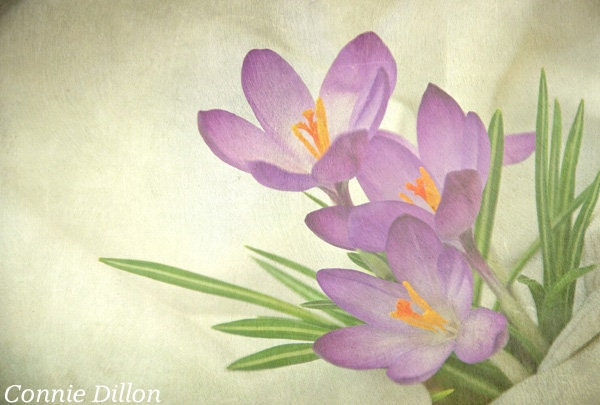 Spring Garden, Purple Crocus: 8.5 x 11 Color Photograph, spring - pastel - purple & green - home decor - fine art - flower photography - ConnieDillon10