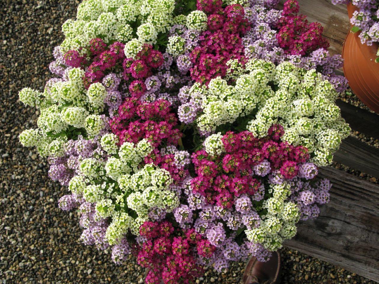 Алиссум цветы описание и
