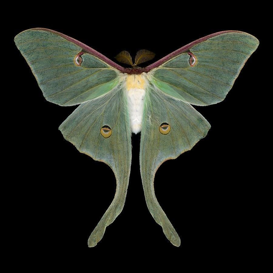 Luna Moth - Actias luna (male)