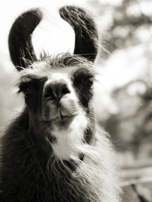 llama lashes, 5x7 photograph