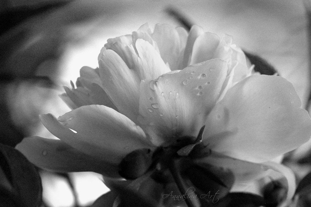 Peony in black and White-Zoom in to