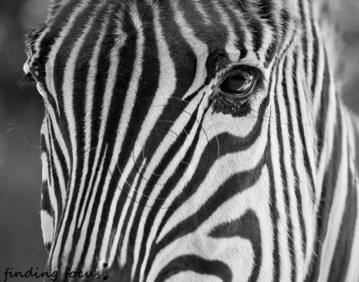 Zebra Photo, Black & White Striped Animal Face Wildlife Zoo Safari Print, Kids Minimalist African Wall Decor, 11x14 Close-Up Art Photograph - findingfocus