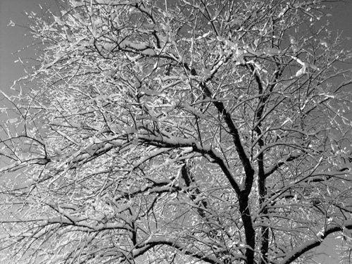 Christmas Card - Winter tree and snow, Maine winter morning, snow on cherry tree branches, black & white photo - DabHands