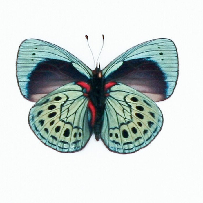 Charles Darwin Butterfly Framed Butterfly Art