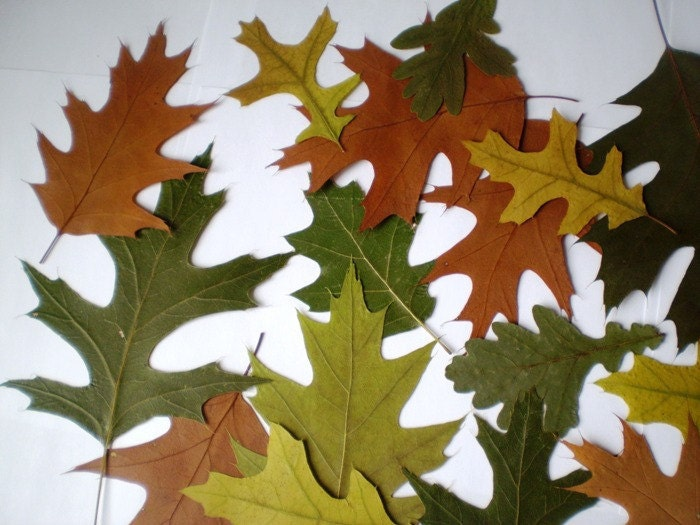Wedding Decorations, Crafts, Scrapbooking - 50 plus Real Pressed Dried GREEN and BROWN OAK Leaves