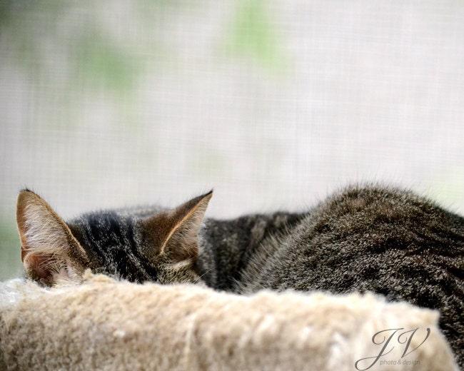 "Pet Photography Sleeping Cat Portait 8x10"" - DesignByJV"