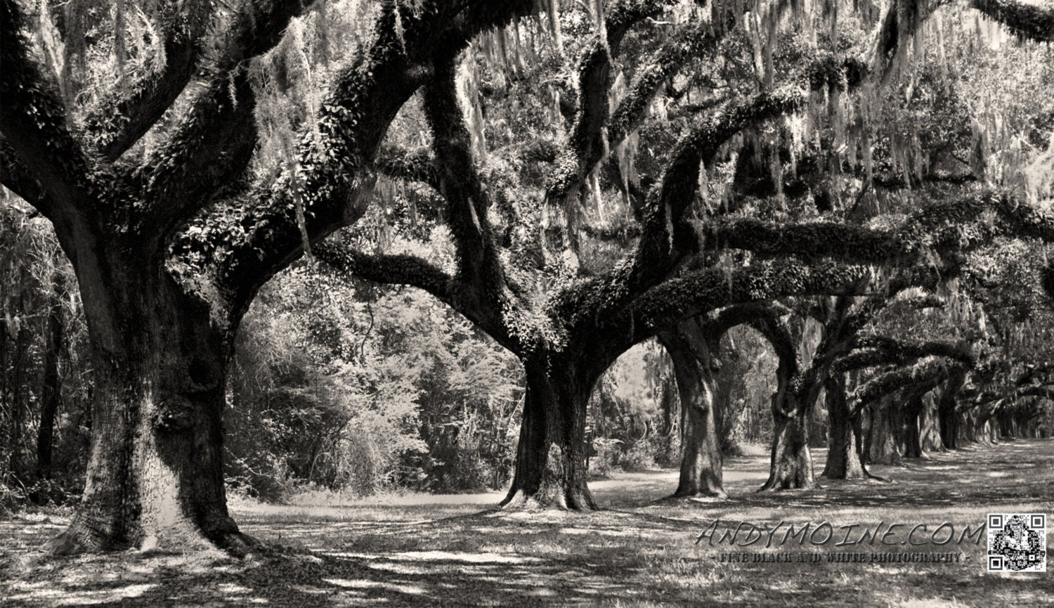 "Fine Art Black & White Photography - Boone Hall Plantation Oaks - Charleston, South Carolina - 12""x18"" Limited Edition Aluminum Print - TheAndyMoineCompany"