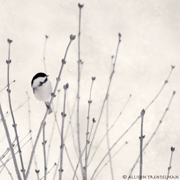 Little Chickadee - blank photo greeting card of little bird in winter