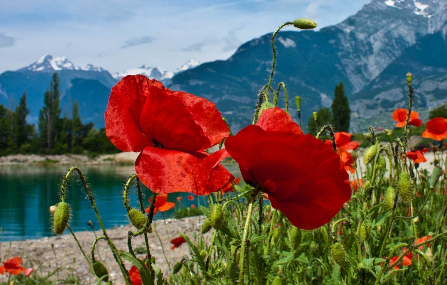 Swiss Alps with Red Poppies Landscape, Valais, Switzerland