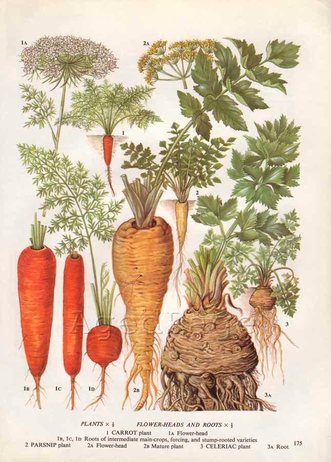 Vintage Vegetable Illustration