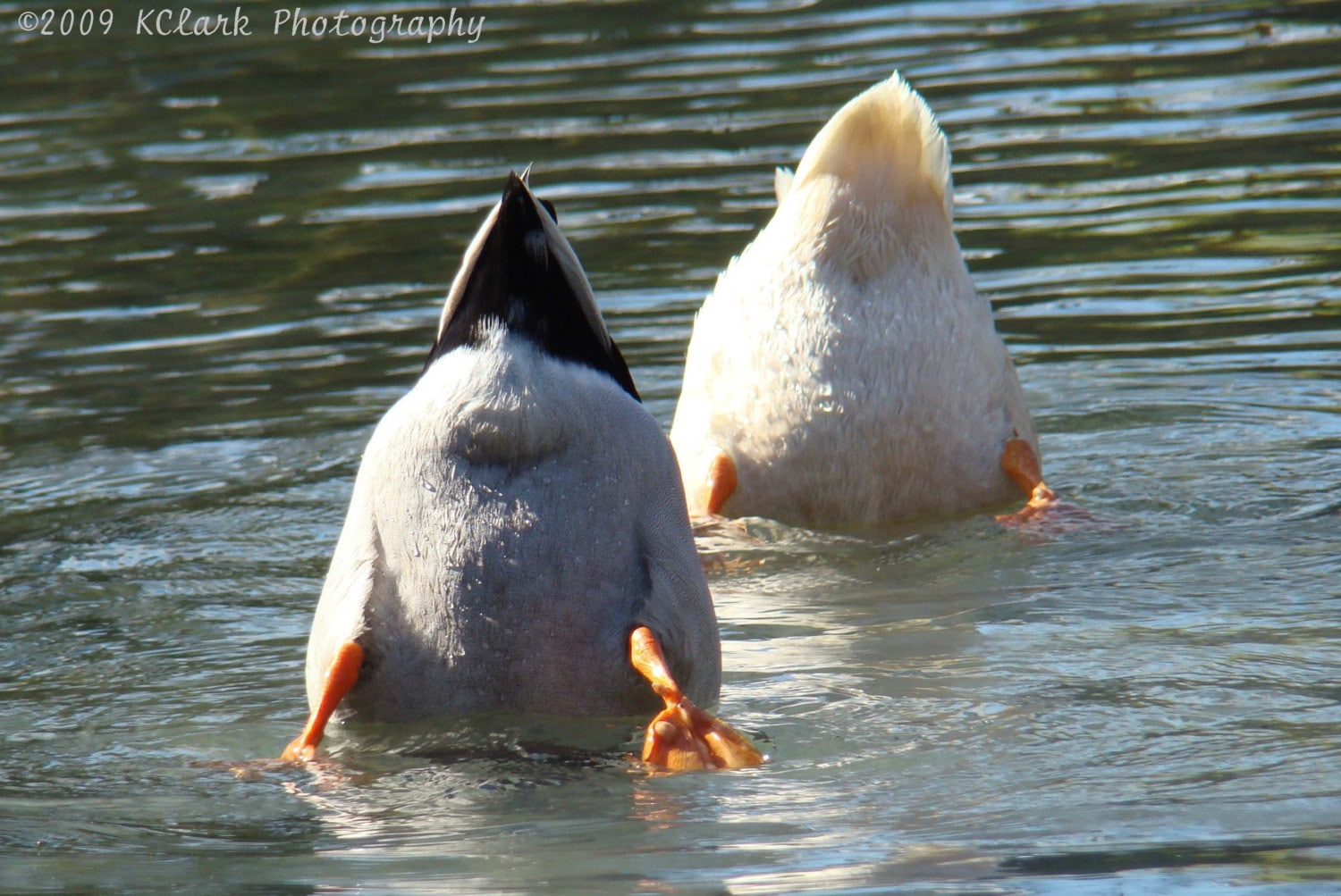 Duck Butts Photograph