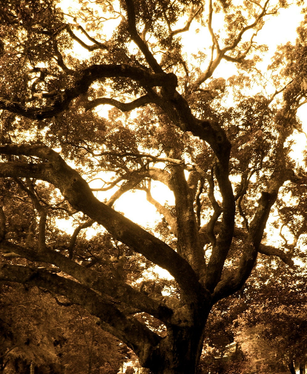 BIG OAK Fine Art Photography Tree