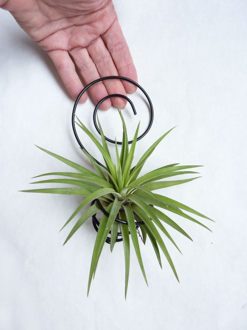 Wire Air Plant Holder Spiral Wall Hanging Tillandsia By