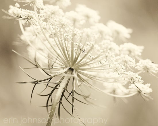 flower photography fine art photograph sepia wall art home decor Queen Annes Lace in Sepia 8x10